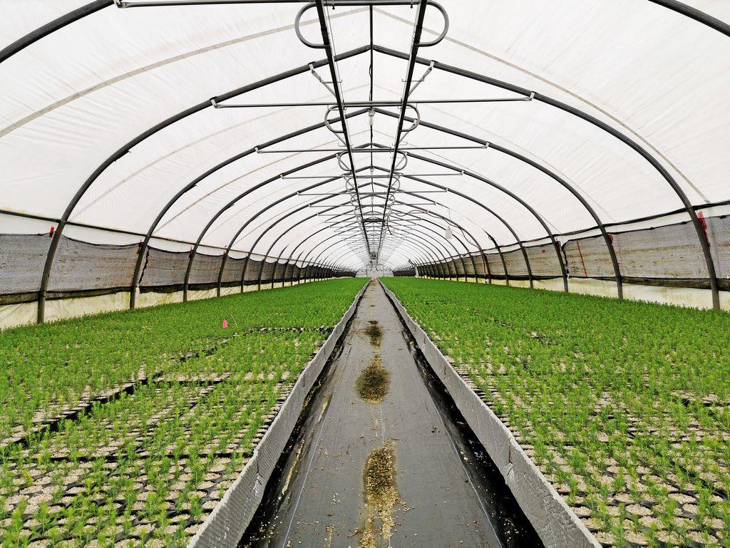 L'irrigation est automatisée dans les serres tunnel.