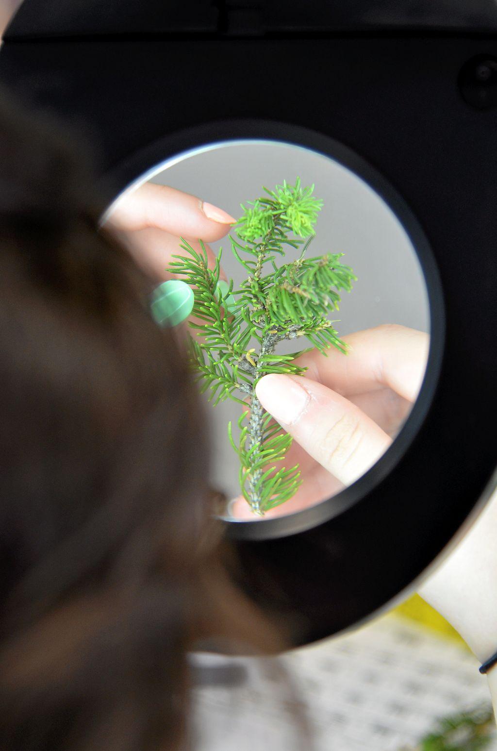 Des loupes sont utlisées pour déceler toutes les larves de tordeuse sur les branches.