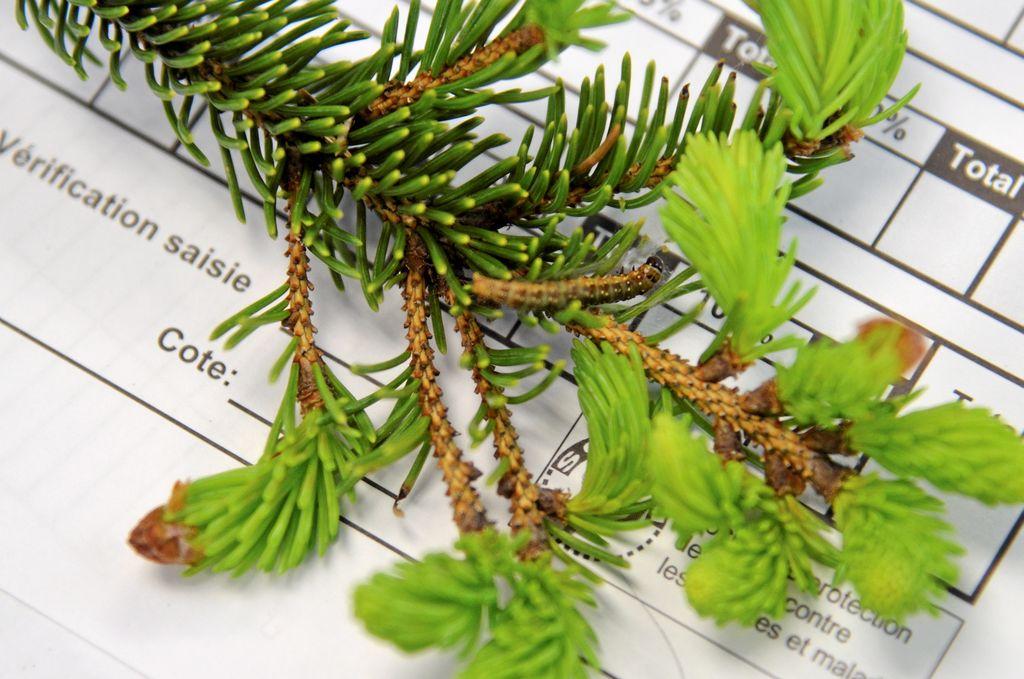 Dans les laboratoires, les auxilières de recherche doivent compter toutes les larves qu'ils trouvent sur une branche de 45 cm.