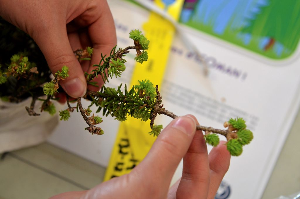 Dans les laboratoires, les auxiliaires de recherche doivent compter toutes les larves qu'ils trouvent sur une branche de 45 cm.